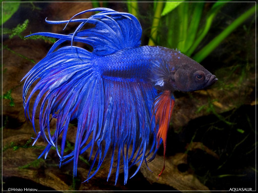 Crowntail bettas nature 39 s decoration 39 s pinterest for Crown betta fish