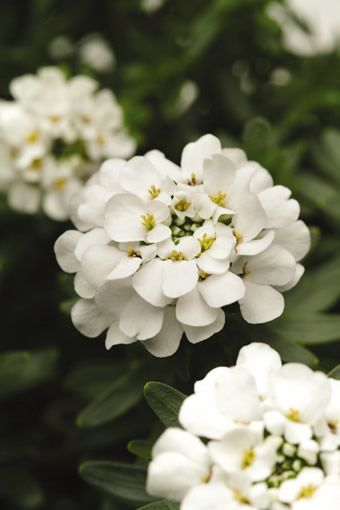 Candytuft Iberis Purity Flower Plants Flower Pictures Beautiful Flowers