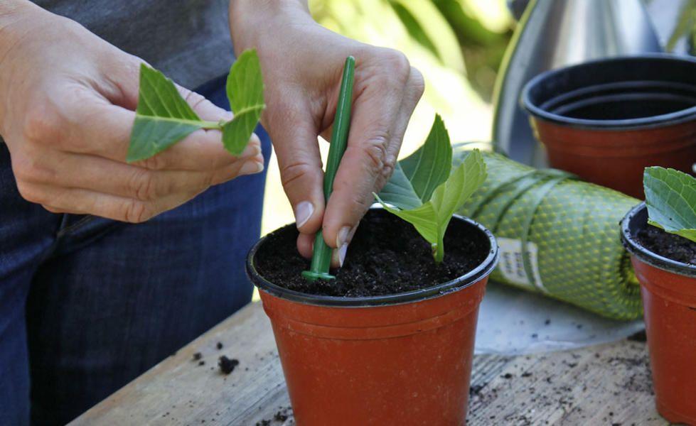 Hortensien durch Stecklinge vermehren #hortensienvermehren