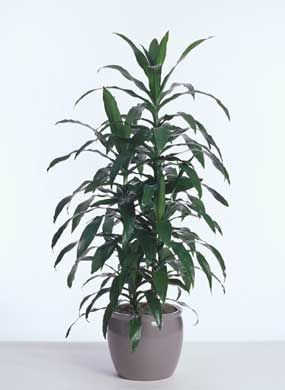 Janet Craig Dracaena: Low Light Workhorse Houseplant [GUIDE ... on house people, house candy, house decorations, house ferns, house cars, house chemicals, house plans, house gifts, house vines, house family, house slugs, house design, house flowers, house rodents, house fire, house crafts, house home, house nature, house stars, house mites,