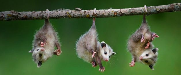They have prehensile tails which are adapted for grasping and wrapping around things like tree limbs. The opossum can hang from its tail for short periods of time, but the creature doesn't sleep hanging from its tail, as some people think. www.floridawildlifebusters.com