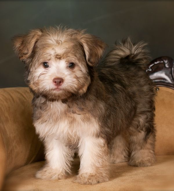 Bolonka puppy. Omg. So cute. (With images) Puppies, Cute