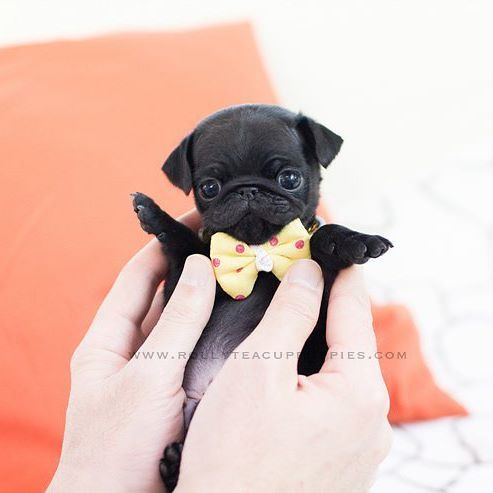 Tyler Teacup Black Pug Male Is Here Rollyteacuppuppies