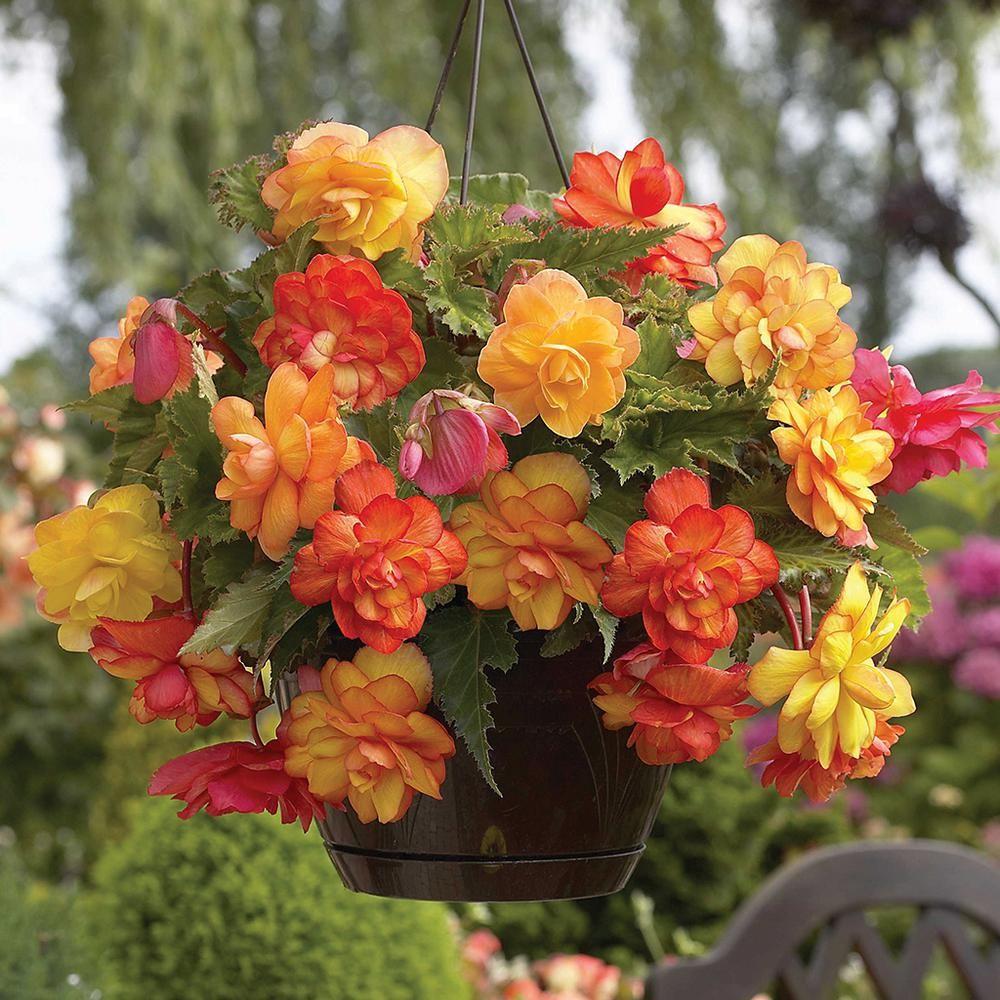 Van Zyverden Hanging Basket Begonias Golden Balcony Bulbs Set Of 5 11160 The Home Depot In 2020 Bulb Flowers Hanging Plants Shade Flowers