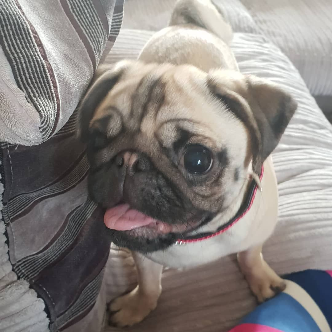 Pin By Ciara On Small Dog For Adults Pug Love Pug Pictures Pet