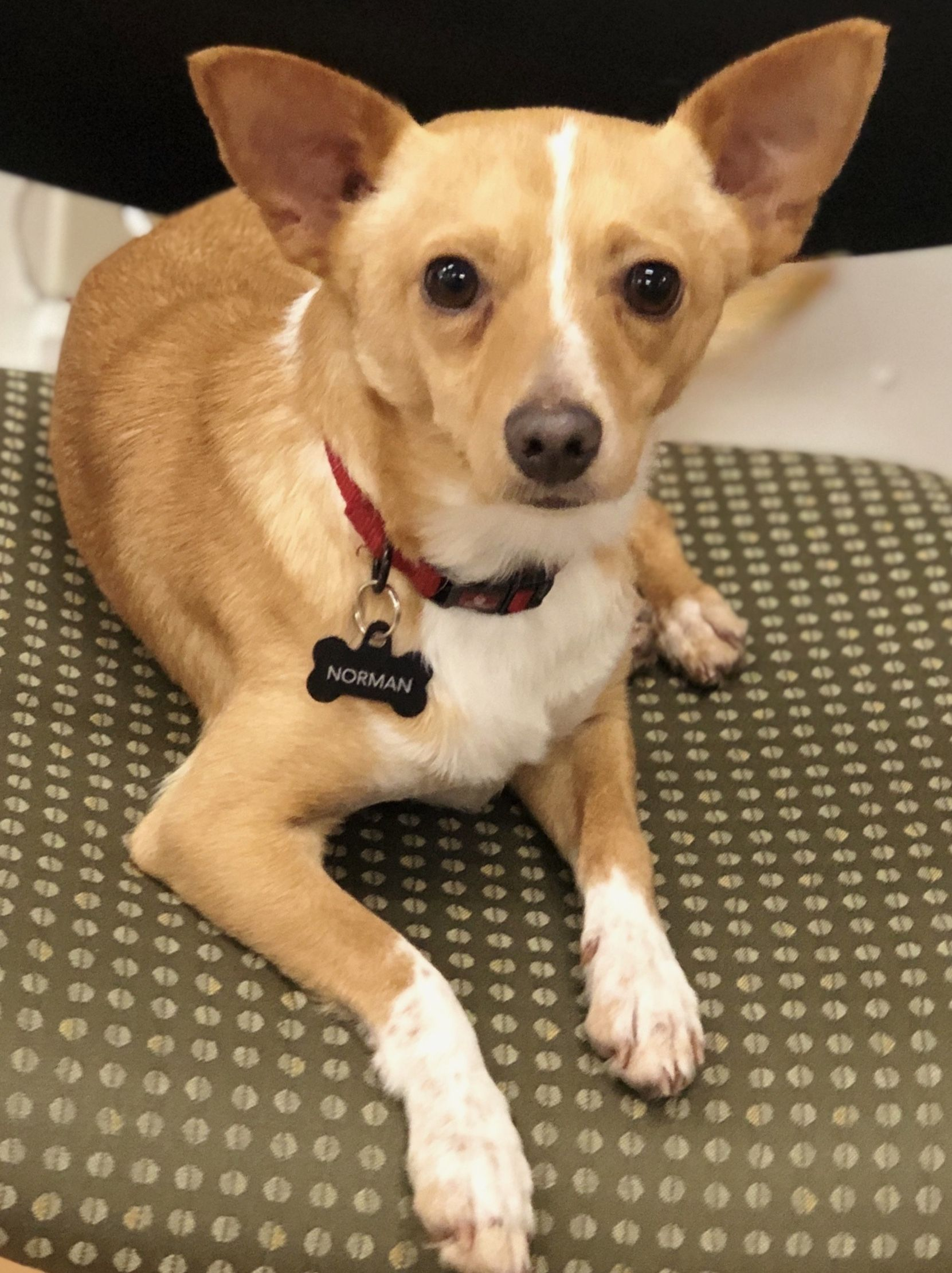 Adopt norman on petfinder chihuahua terrier mix