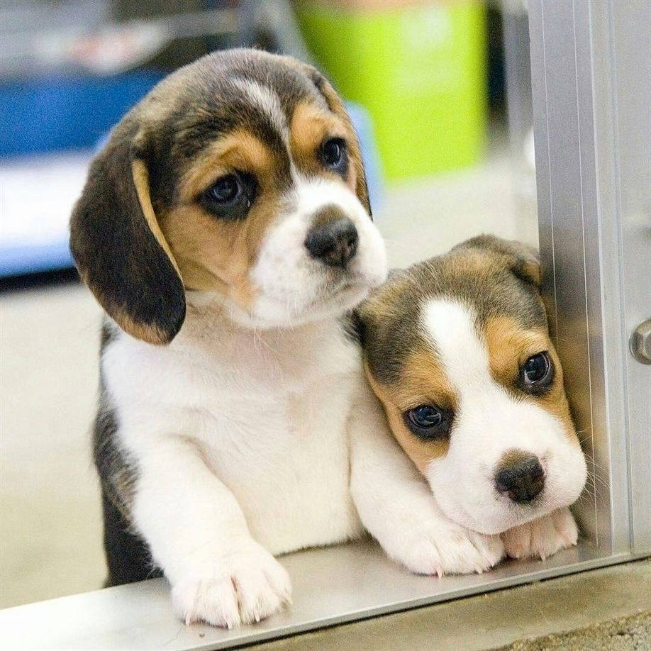 Beagle Dog Funny Nature Puppies Beaglepuppyfunny Beagle
