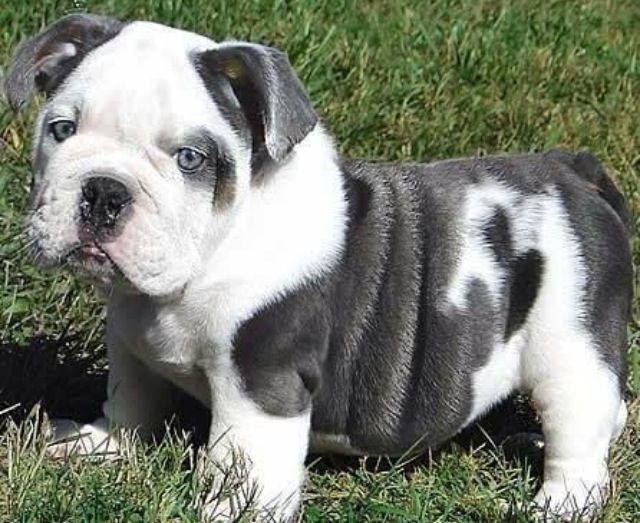 English Bull Dog Please Make Your Way Into My Life I Promise