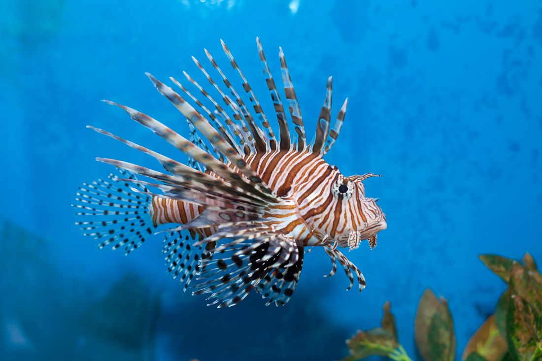 Red Lionfish Lion Fish Fish Face Beautiful Fish