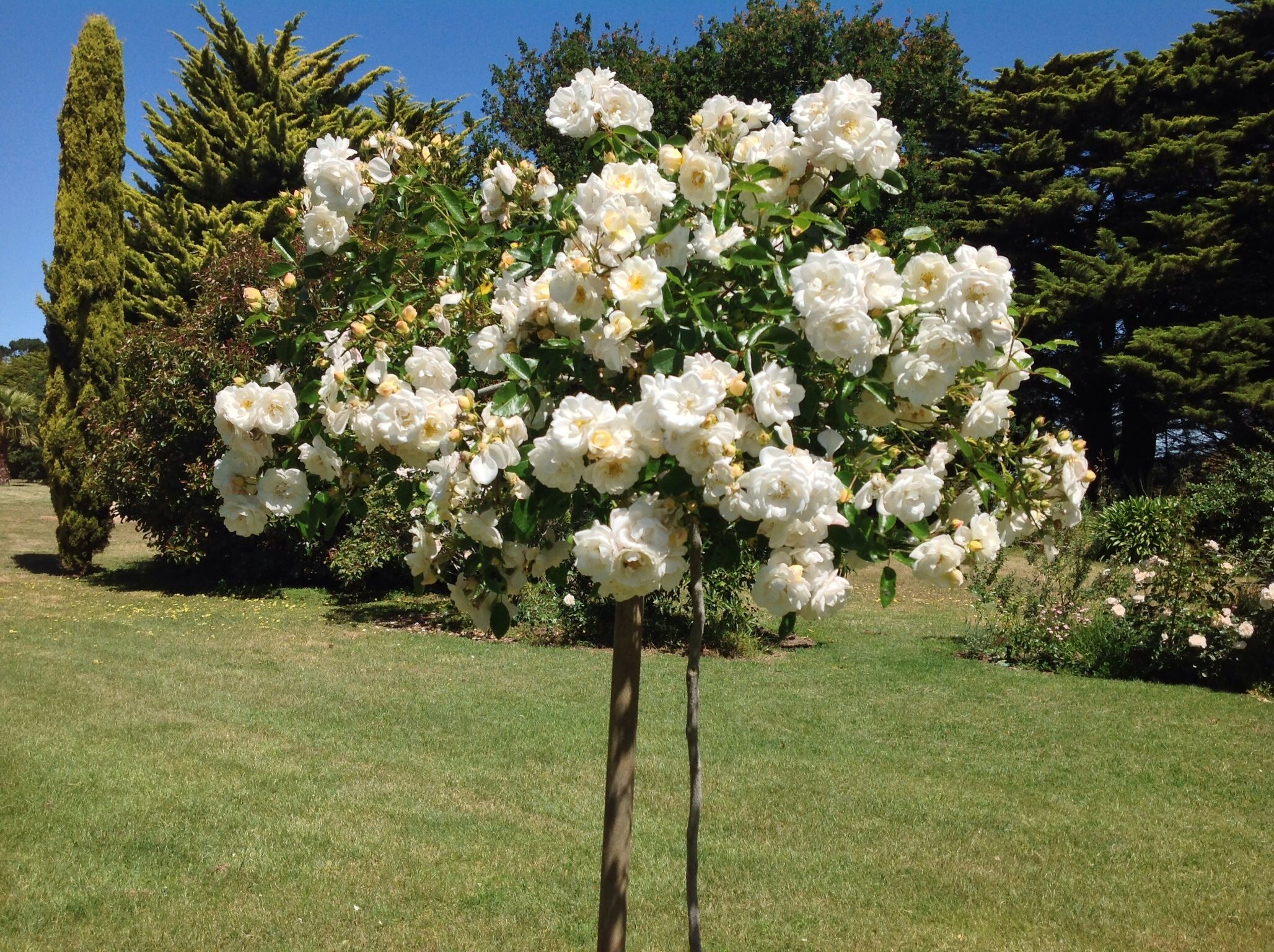 Young crepuscule weeping rose lovely
