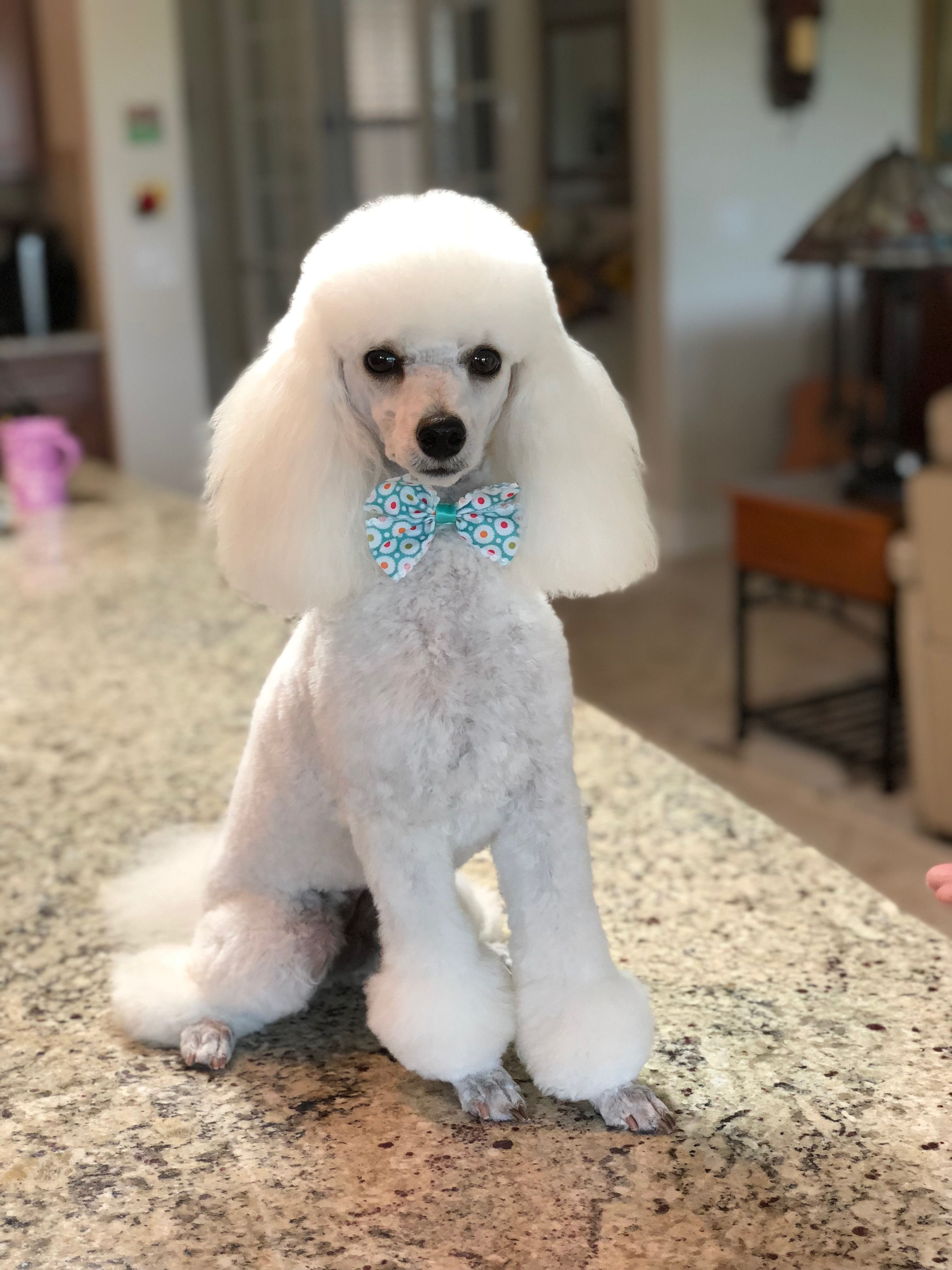 Gorgeous Jolie May 24 2018 Yorkie Poodle White Toy Poodle