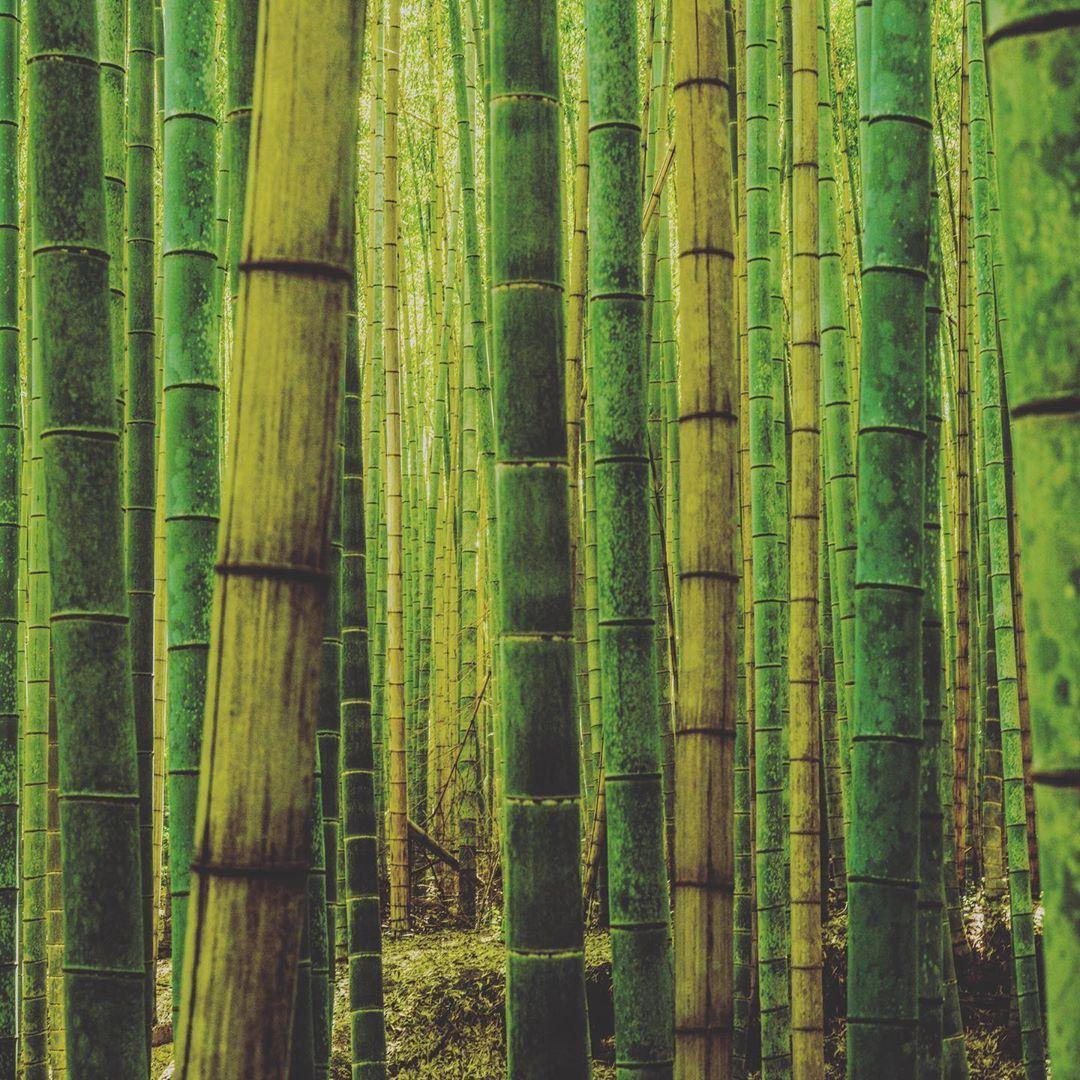 #bambooforest #kyoto #japan #bamboo #japaninstagram #japanphotography  #somewheremagazine #japanesegarden  #photooftheday #streetphotography #portraitphotography  #urbanandstreet #neverstopexploring #sony  #createexplore #a7riii #spicollective #lensculturestreets #apfmagazine  #streetart  #thestreetphotographyhub #japangram #discoverjapan #arashiyama  #bnwstreetphotography  #instagramjapan #japanphotography #bambooforest #kyoto #japan #bamboo #japaninstagram #japanphotography  #somewheremagazine