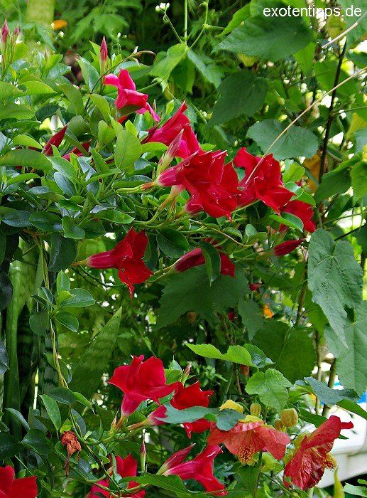 rio deep red mandevilla sundaville dipladenia planted. Black Bedroom Furniture Sets. Home Design Ideas