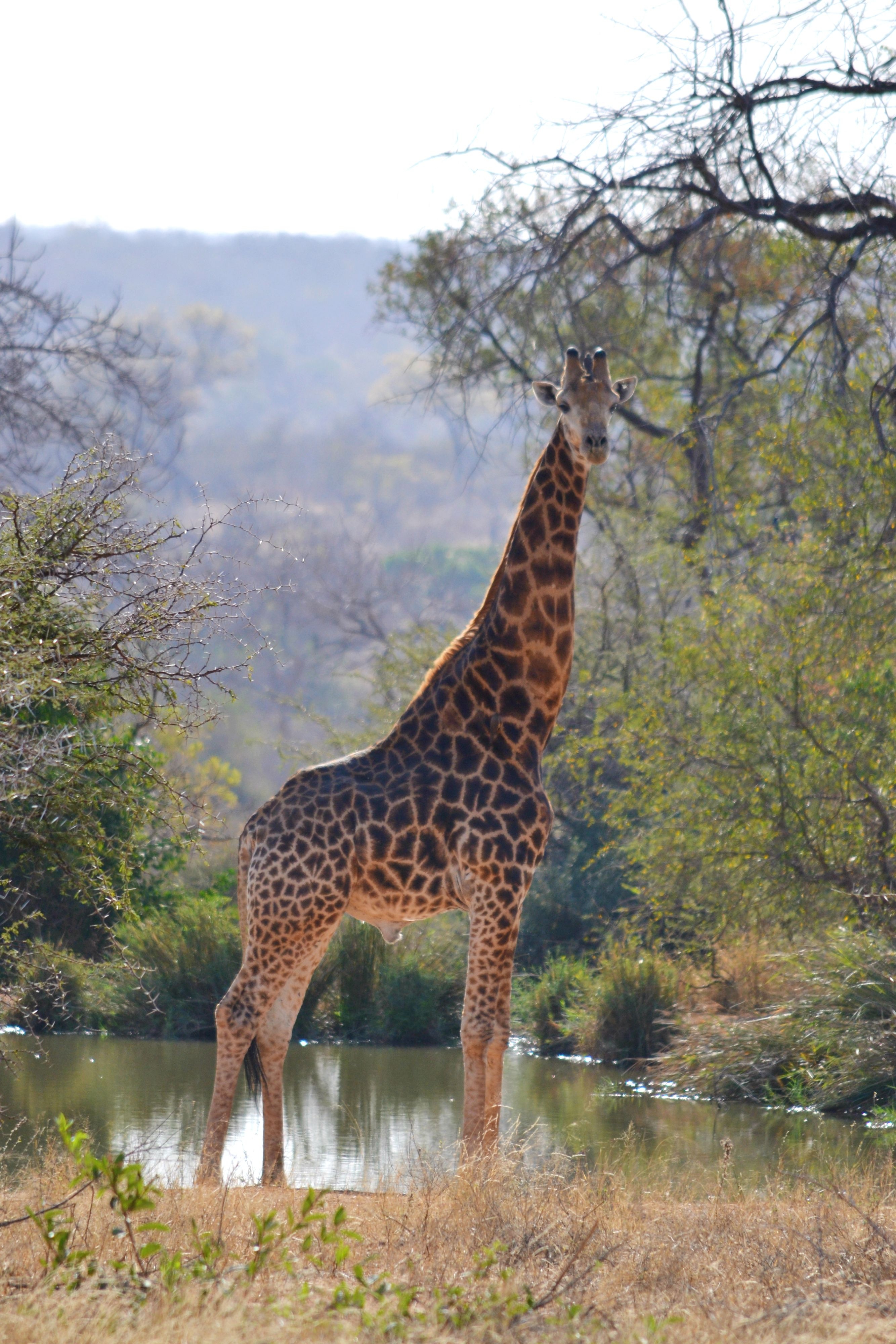 This Giraffe Was At The Watering Hole Where We Stayed It