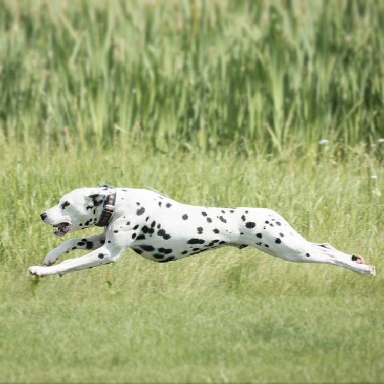 Pixar A 1 5 Year Old Male Intact Dalmatian Dog Doing Lure Coursing