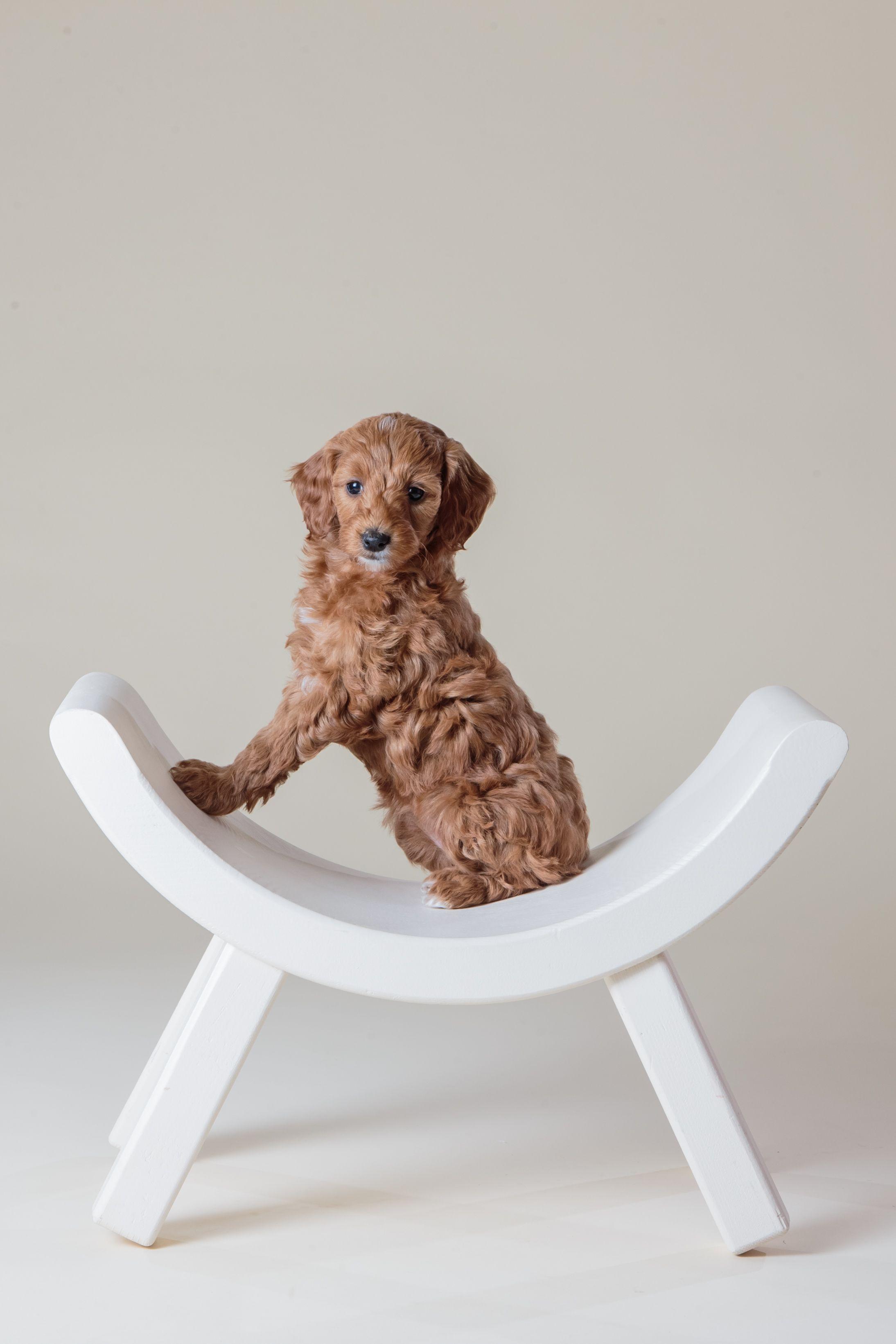 Medium, Mini & Petite Goldendoodle Puppies for sale in Iowa