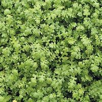 Miniature Brass Buttons Leptinella Gruveri Jeepers Creepers Usa Perennial Plants Ground Cover Shade Plants Lawn Alternatives