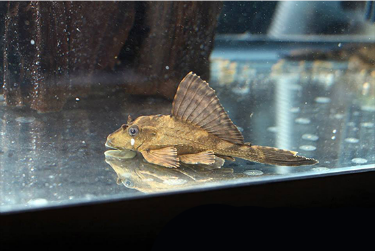 Pterygoplichthys Scrophus Photo Imperial Tropicals These Plecos Are Peaceful In Nature And Are Great For Medium Sized Aquariums A Plecostomus Catfish Pet Fish