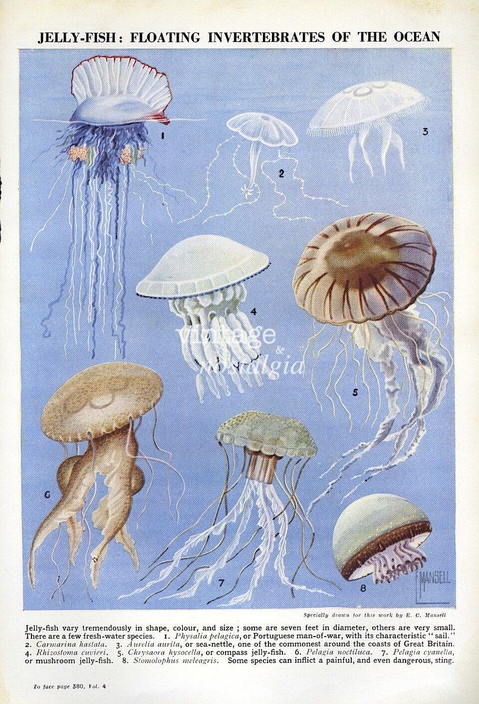 vintage jelly fish print marine biology illustration ocean life