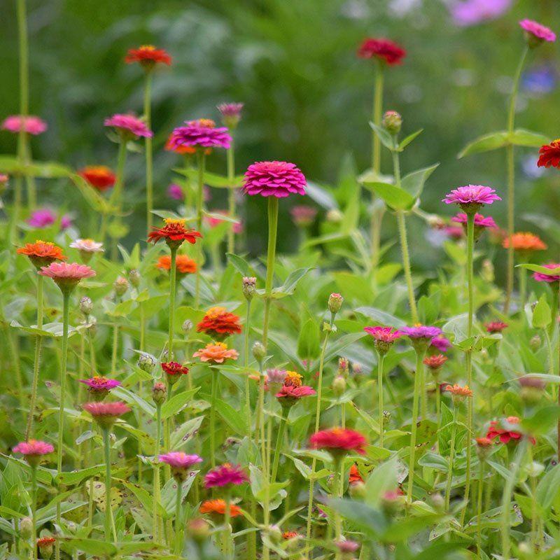 Zinnia Seeds Lilliput Mix Zinnias, Easy plants to grow