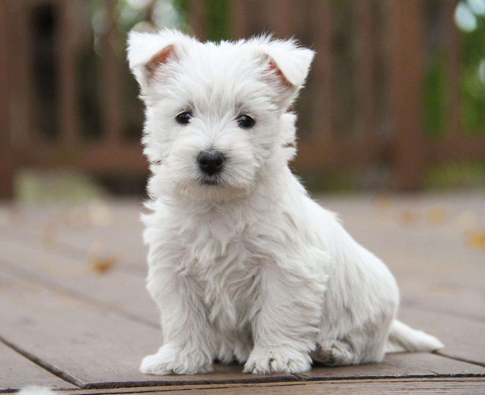 We've been raising Westies at The West Acres on our ranch