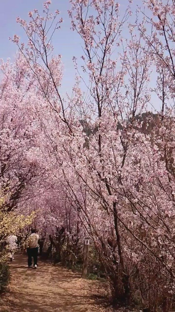 Twitter Moments: A tour of Japan in cherry blossoms
