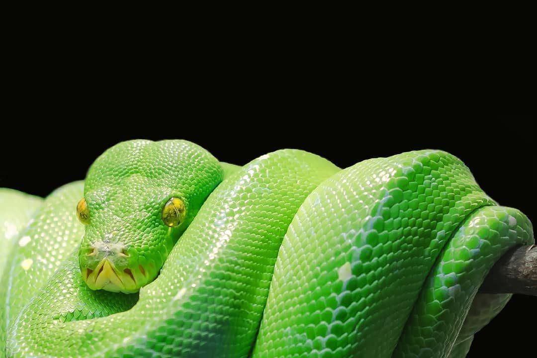 Ular Chondro Ular Sanca Hijau Green Tree Python Suku