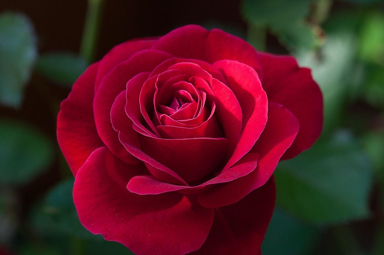 Besplatnye Foto Na Pixabay Cvetok Rouz Krasnyj Krasnaya Roza Rose Flowers Carnivorous Plants