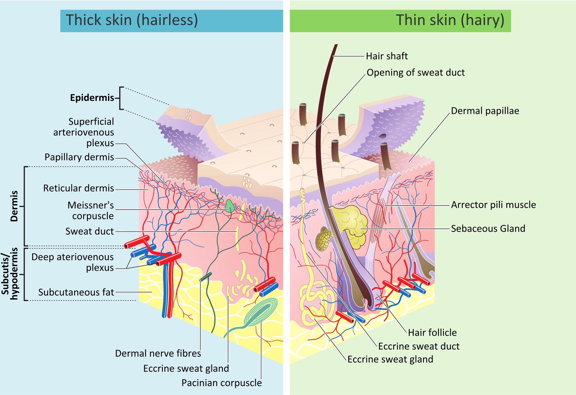 Human skin - Wikipedia, the free encyclopedia | Lab Class ...