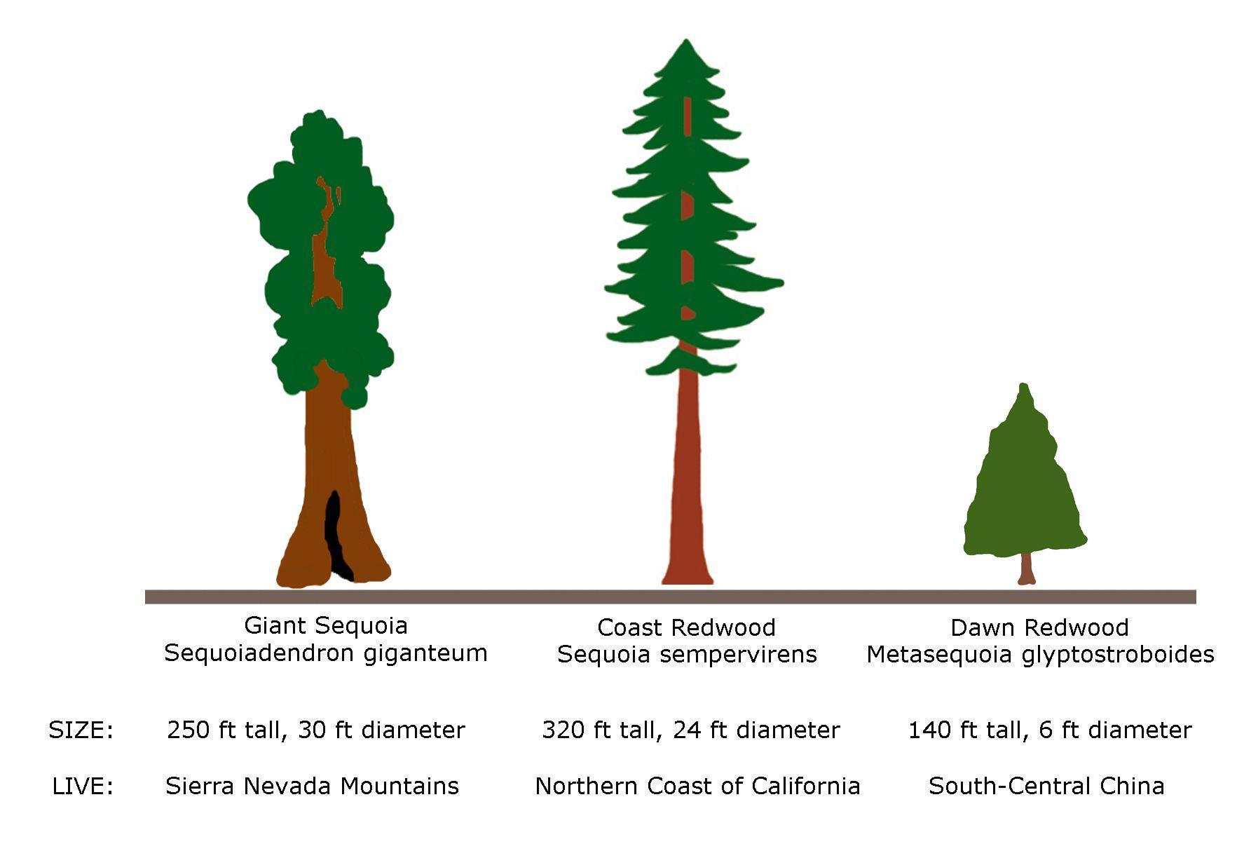 Giant redwood vs sequoia trees