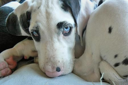 Future Dog Harlequin Great Dane Puppy With Blue Eyes 3 With