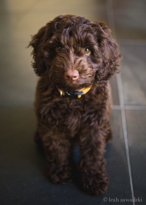 Adorable brown labradoodle!  Could be our   next dog.  Love the fact they don't shed.