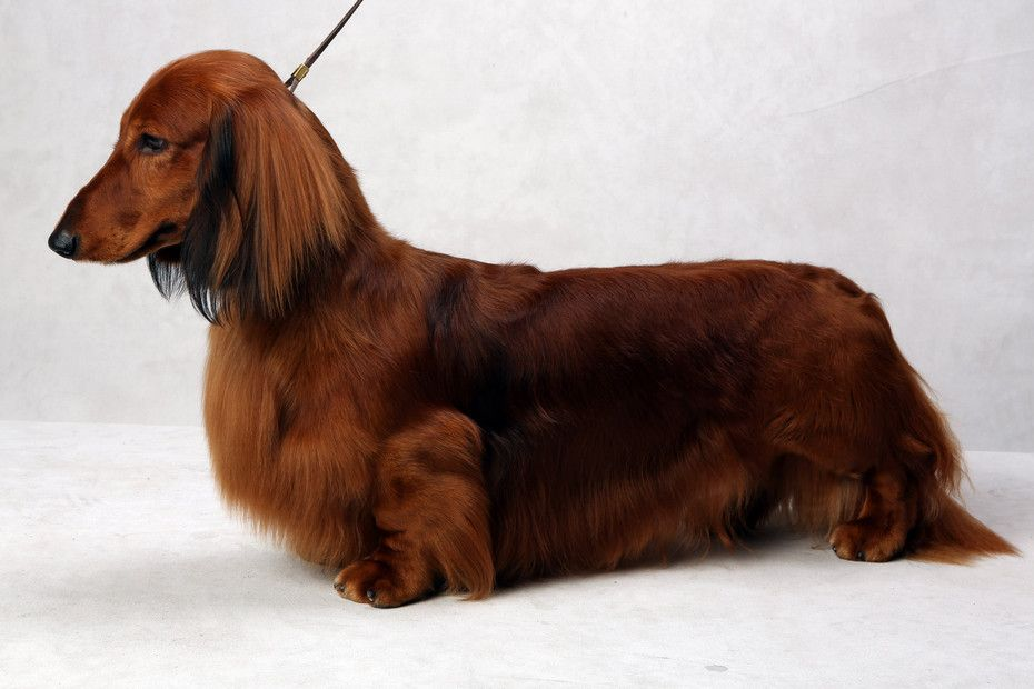 Westminster S Best Of Breed Westminster Dog Show Dachshund Dog