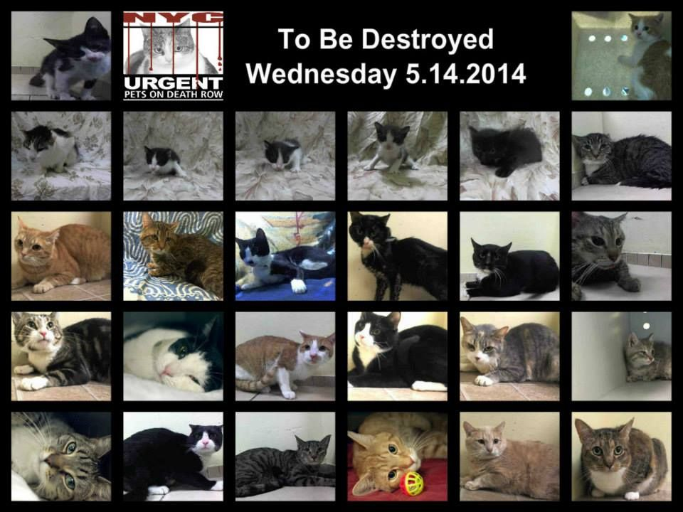 TWENTY SIX CATS-KITTENS TO BE DESTROYED NOW IN NYC - SHAME NYC! https://www.facebook.com/PetsOnDeathRow/photos_stream#!/PetsOnDeathRow/photos/pb.155925874419253.-2207520000.1400083439./794559370555897/?type=3&theater