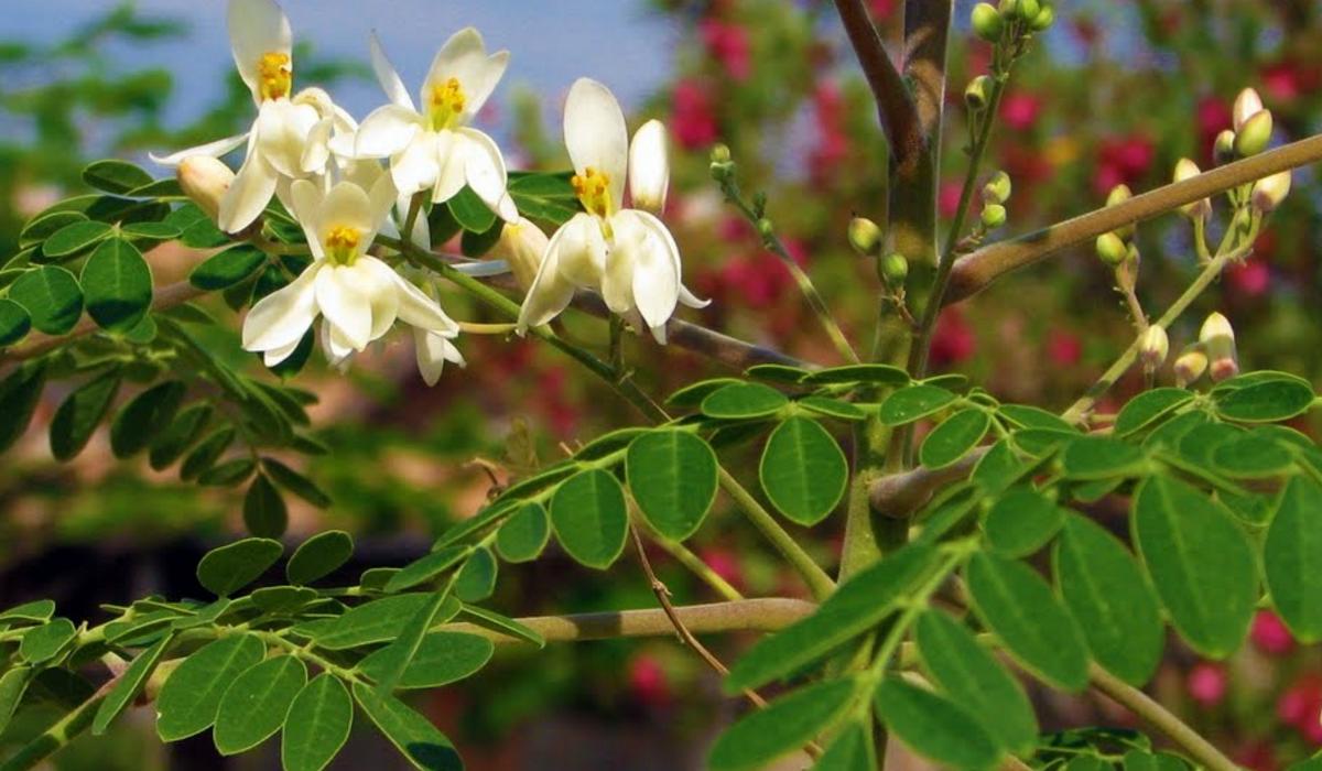 Moringa Oleifer Png 1200 700 Moringa Benefits Of Moringa Leaves Moringa Leaves