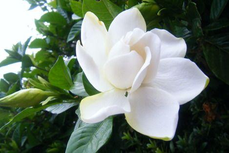 Gerdenia くちなしの花 とてもいい香りです ガーデニア いい香り フラワー