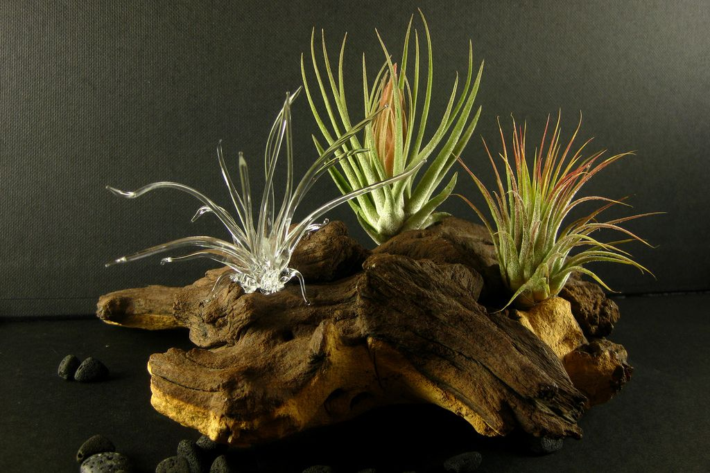 tillandsia3 | Flickr - Photo Sharing!