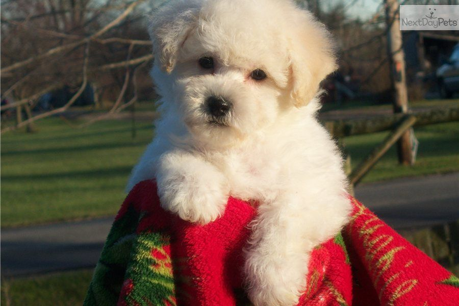 Gorgeous Akc Bichon Snow Teddy Bear Angels Bichon Frise Bichon Frise Puppy Bichon