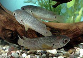 Anabas Testudineus Climbing Perch In 2020 Fish Beautiful Fish Freshwater Fish