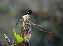 pimpandhost paradisebirds(a Paradise Birds