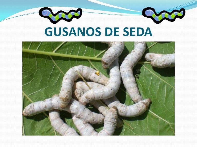 Ciclo De Vida De Los Gusanos De Seda Con Imagenes Gusanos De
