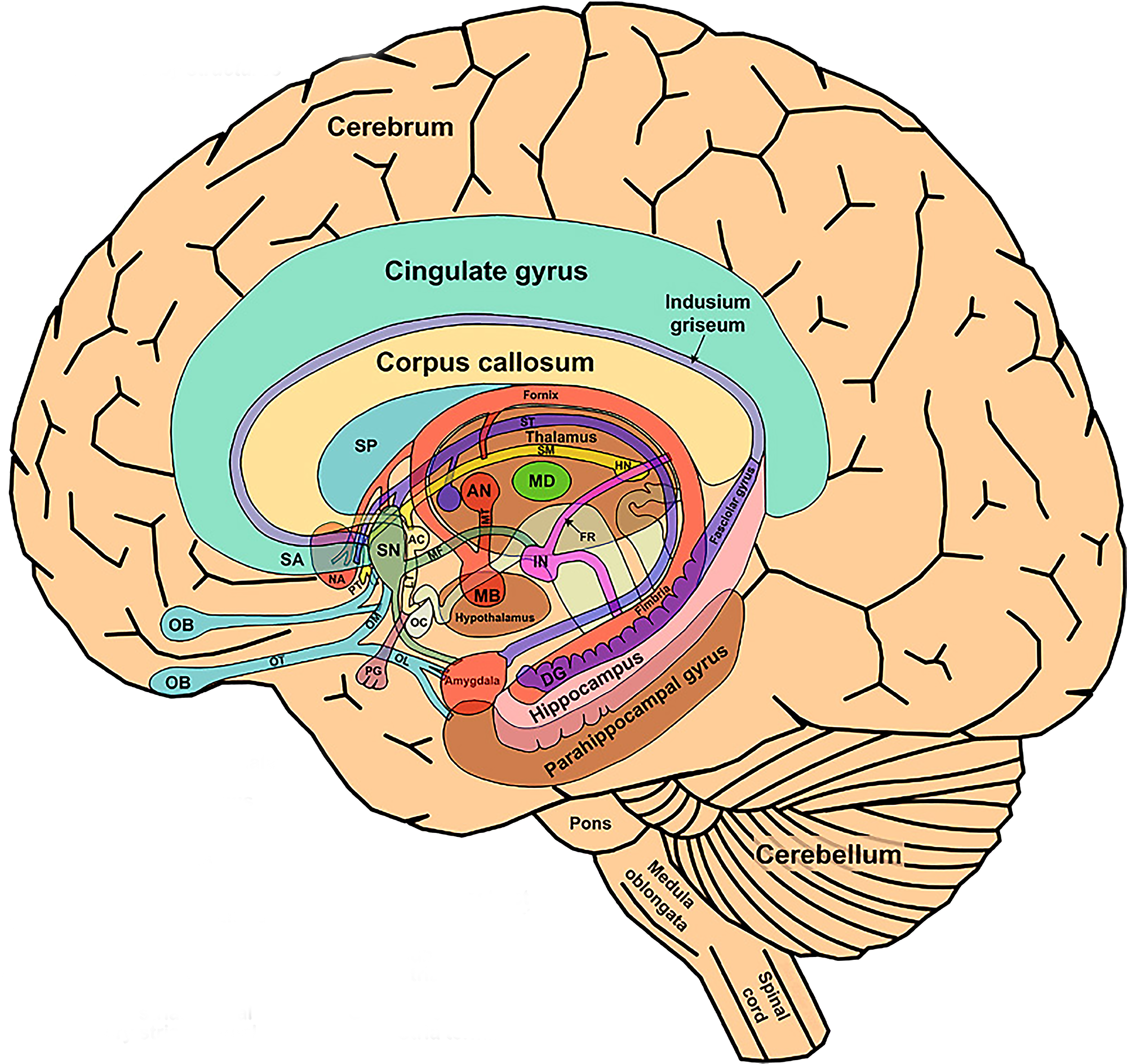 Brain Study Motor Cortex Contributes To Word Comprehension