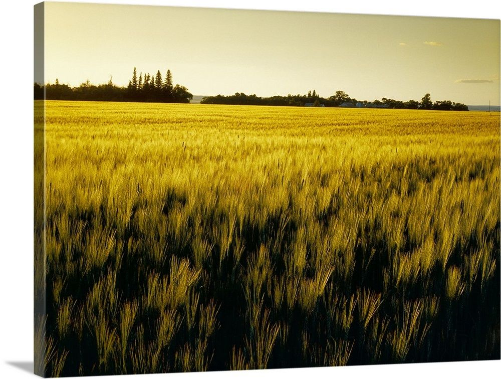 Field of maturing barley in early morning light dugald