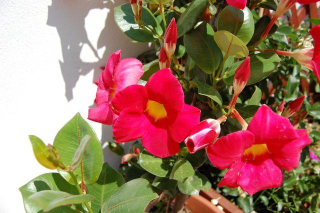 le dipladenia galement appel mandevilla est une plante appr ci e pour sa floraison estivale. Black Bedroom Furniture Sets. Home Design Ideas