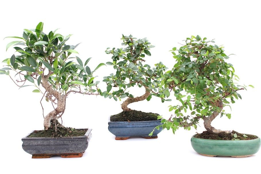 Indoor Bonsai Tree Care Guidelines Indoor Bonsai Tree Indoor Bonsai Bonsai Tree Care
