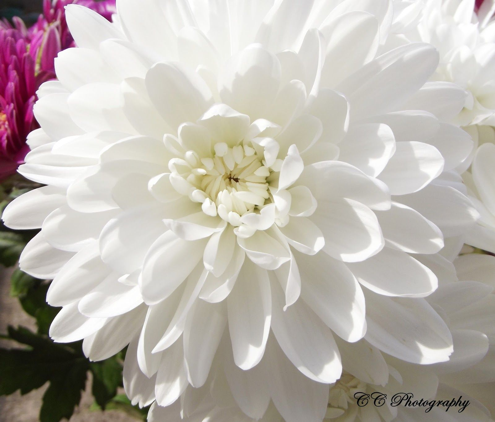 CC Photography White Chrysanthemums Flowers Photography party