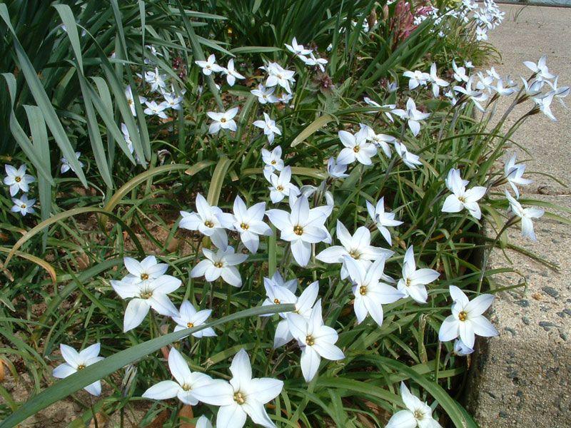 White spring flowering bulb plants pinterest spring flowering white spring flowering bulb mightylinksfo