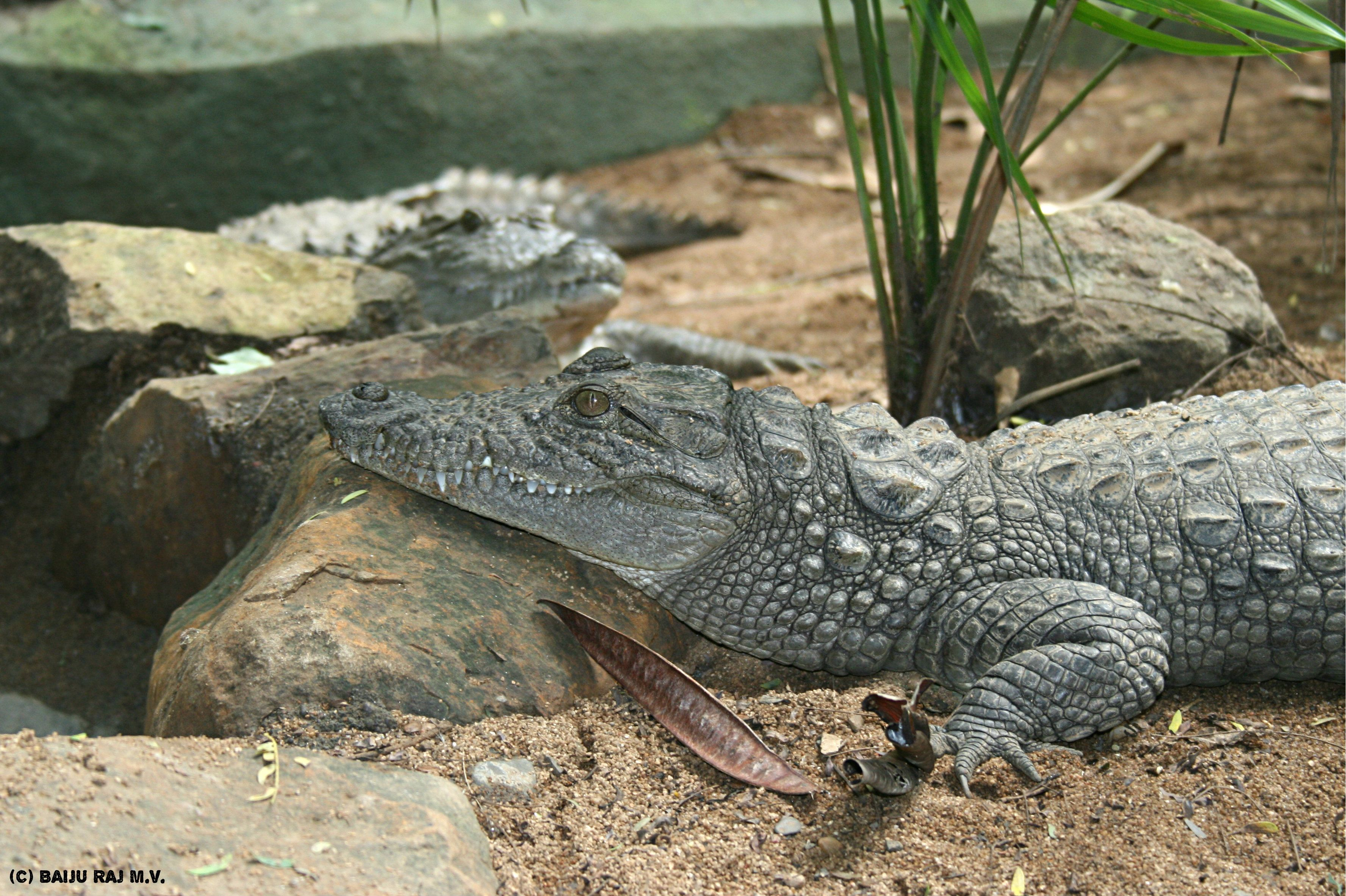 Friday Facts about the Mugger Crocodile! 1. The Mugger