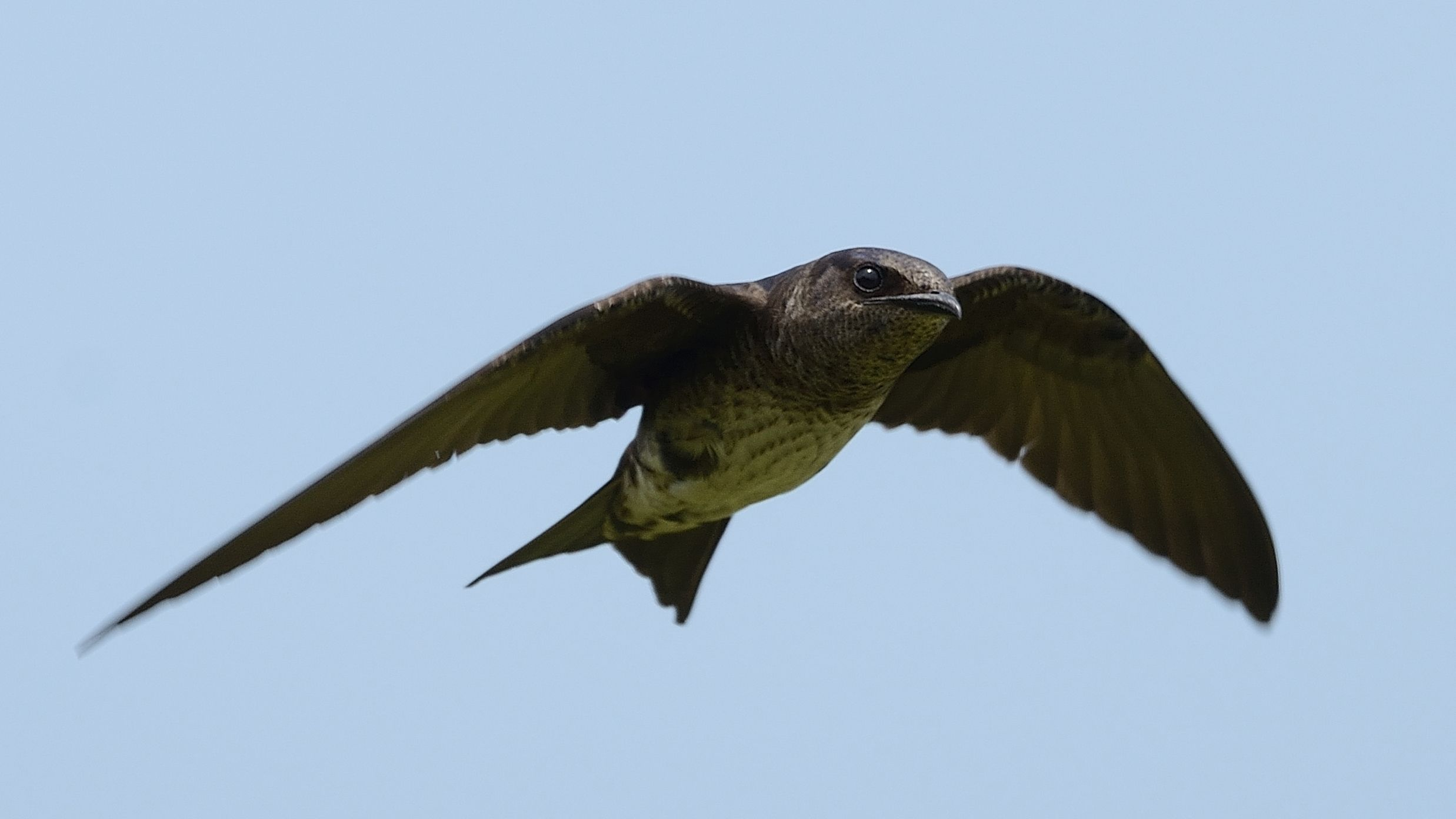 Purple Martins The Bird That Relies On Human Built Nests