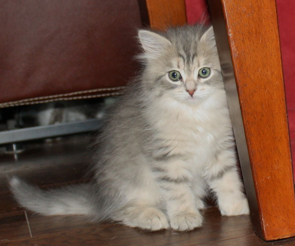 Siberian Kittens And Cats With Images Siberian Kittens Kittens Siberian Cat